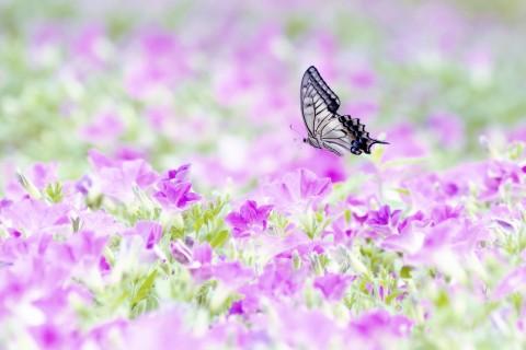 蝴蝶在花丛中飞舞 蝴蝶在花丛中飞舞壁纸 蝴蝶在花丛中飞舞壁纸下载