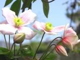 淡粉色花朵