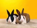 一对可爱兔子