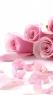 粉红色玫瑰