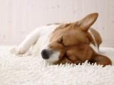睡梦中的小狗