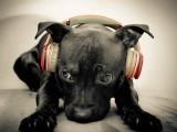 小狗在听音乐
