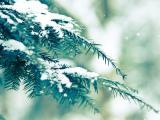 清新松树雪景