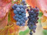 成熟的葡萄
