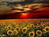 晚霞中的向日葵