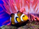 自由自在的小丑鱼