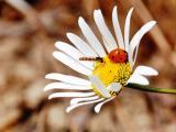 菊花上的瓢虫