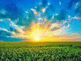 夕阳下的麦穗
