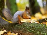 森林里觅食的松鼠