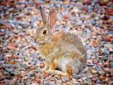 鹅卵石上的兔子