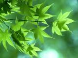 雨后绿色枫叶