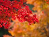 金秋枫叶红