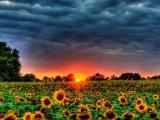夕阳下的向日葵花海