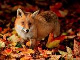秋天里的狐狸
