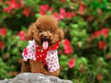 可爱贵宾犬