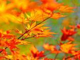 枫叶红秋意浓