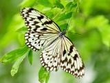 绿叶上停歇的蝴蝶