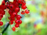 成熟的红果