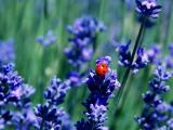 薰衣草上的瓢虫