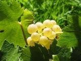 葡萄成熟的季节