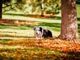 可爱的威尔士柯基犬