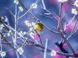 樱花树上的小鸟