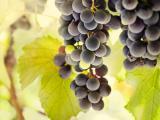 葡萄成熟的时候
