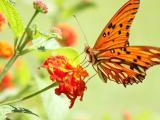忙碌的橙色蝴蝶