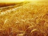 沉甸甸的麦穗