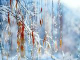 雪景下的柳条