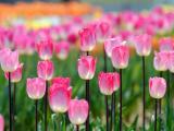 粉色郁金香花海