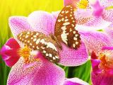 蝴蝶兰花上的蝴蝶