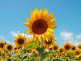 向往阳光的向日葵