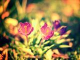 向往阳光的番红花