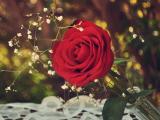 红玫瑰的火热爱情