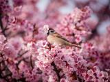 唯美樱花丛中的鸟儿