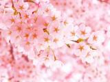 娇艳的樱花