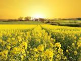 黄色油菜花花海
