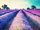 美丽的薰衣草园