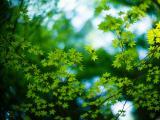 唯美的绿色枫叶