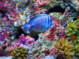 海底蓝色鱼儿