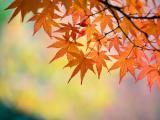 秋天的橙色枫叶