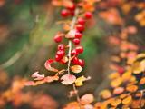 树上的红果