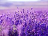 唯美紫色薰衣草