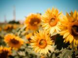 美丽向日葵