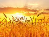 阳光下的唯美麦穗