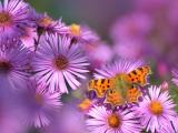 紫色花朵中的橙色蝴蝶