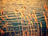 河边的芦苇