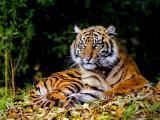威严的老虎