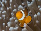 黄色小丑鱼